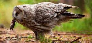 Baykuşlar Arasında Üremeyi Etkileyen Faktörler Nelerdir?